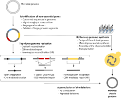 construction of a minimal genome as a chassis for synthetic   figure