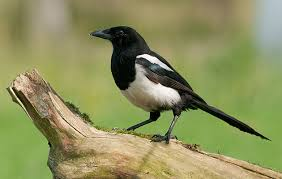 how to deter magpies the field