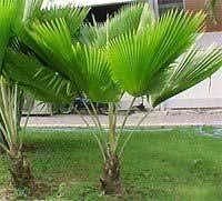 fan palm trees. fiji fan palm tree trees