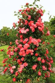 how to grow climbing roses in a small