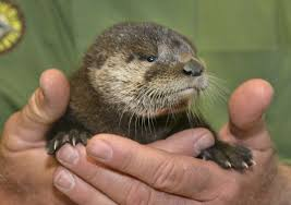Otter Vending Machine Awesome Baby Otter Rescued From Phoenix Canal Nursed Back To Health
