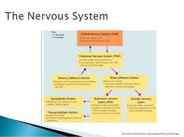Central Nervous System Vs Peripheral Nervous System Venn Diagram The Brain And Nervous System 1