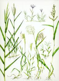 Grass Identification Chart Uk Glorious Grasses Lizzie Harper