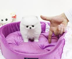 teacup pomeranian puppies for sale 250. Contemporary 250 Cute Teacup Size Pomeranian Puppies For Caring Homes Intended For Sale 250 R