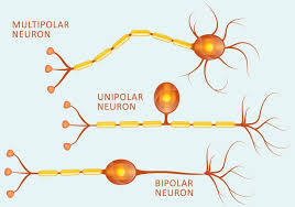 Neuron Types Download Free Vector Art Stock Graphics Images