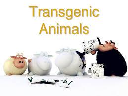 Transgenic Animals How Far Away Is Transgenic Animal Food From Us Creative