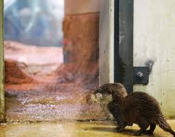 Otter Vending Machine Inspiration A Squeaky Baby Otter Drinks Milk From A Syringe