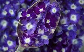 วอลเปเปอร์ : แมโคร, สีน้ำเงิน, ดอกไม้สีม่วง, ช้อน, ปลูก, กลีบดอก,  โรงงานที่ดิน, พืชดอก, การถ่ายภาพมาโคร, ภาษาอังกฤษลาเวนเดอร์, ครอบครัวม่วง  1920x1200 - WallpaperManiac - 12105 - วอลเปเปอร์ hd - WallHere