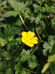 Potentilla crantzii from Neil Vanderkruk Holdings Inc.