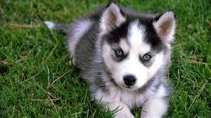 husky puppy s tiger toy