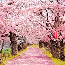 Cherry Blossom Background Free Cherry Blossom Background