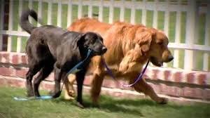 Hunde müssen es schritt für schritt lernen, die treppen richtig zu benutzen. Der Blinde Hund Der Von Seinem Blindenhund Gerettet Wurde My Animals