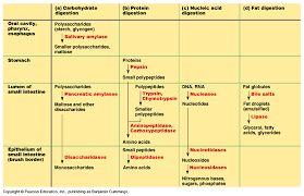 Human Digestive Enzymes Chart What Is The Journey Like For A Bacon Lettuce And Tomato