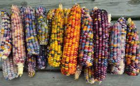 glass gem corn rainbow corn colorful corn carl barnes native seeds