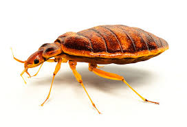 How Big Are Bed Bugs Bed Bugs Pictures Size In All Life Cycle Stages
