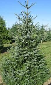 Best Living Christmas Tree Types  HGTVTypes Of Fir Christmas Trees