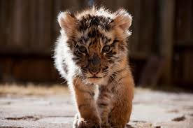 cute baby tigers wallpapers. Perfect Wallpapers Baby Tiger Wallpaper Throughout Cute Tigers Wallpapers 2