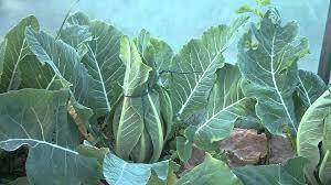 cauliflower plant. Wonderful Cauliflower In Cauliflower Plant T