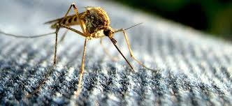 """Résultat de recherche d'images pour """"moustique"""""""