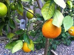 356 Best FRUIT TREES OF FLORIDA U0026 OTHER PLACES Images On Pinterest Fruit Salad Trees Usa