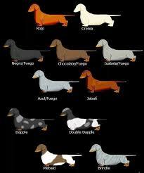 Dachshund Color Chart Dachshund Colour Chart Dachshund Dog Dachshund Weenie Dogs