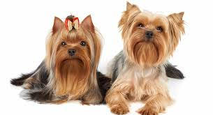 The long, shiny,straight hair is cut in various styles. 6 Things You Need To Know Before You Get A Yorkie The Yorkie Times