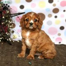 a cavalier king charles spaniel puppy named happy