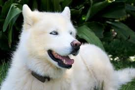 pure white husky with blue eyes. Modren Husky Pure White Siberian Husky Dog With Blue Eyes Close Up Portrait On Green  Background Stock Photo Inside With E