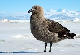 emperor penguin predators and prey.  Emperor Skua Throughout Emperor Penguin Predators And Prey S