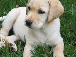 a yellow lab puppy picture