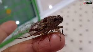Cicada sound เสียงร้องแมลง จั๊กจั่น เสียงของจักจั่น - YouTube