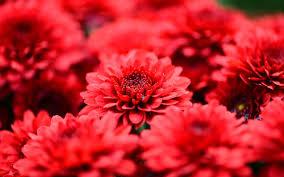 Red Flower Wallpaper Red Flowers Wallpaper 6807778
