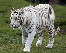 white tiger. Simple Tiger A Captive Tiger In Birmingham The United Kingdom For White Tiger I