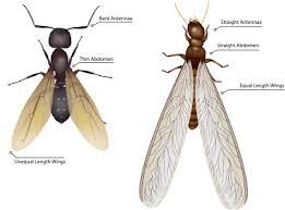 carpenter ant pic. Modren Carpenter Termite And Carpenter Ant Comparison To Carpenter Ant Pic A