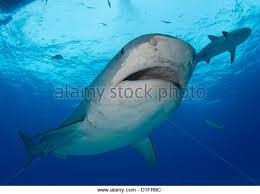 tiger shark attack stock photos tiger shark attack stock images  tiger shark stock image
