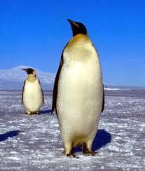 emperor penguin predators and prey.  Emperor Emperor Penguin Throughout Predators And Prey G