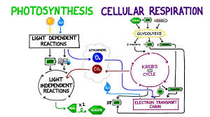 comparing and contrasting photosynthesis and cellular respiration