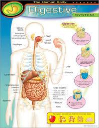 Chart Digestive System | T-38092