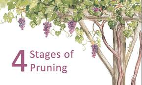 How To Prune Grapevines To Grow On An Arbor
