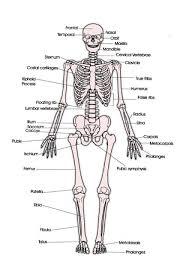 human bone diagrams tag human bones diagram labeled human anatomy    human bone diagrams tag human bones diagram labeled human anatomy diagram
