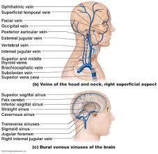 the human circulatory system circulatory system essay human neck arteries veins