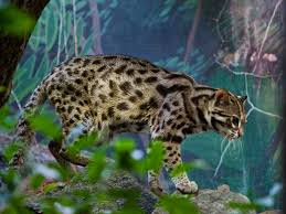 South east asian leopard cat