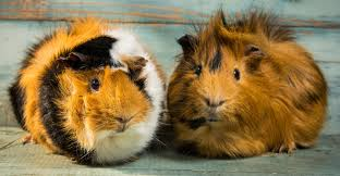 Guinea Pig Urine Chart A Complete Owners Guide To Baytril For Guinea Pigs