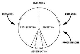 The Endometrial Cycle Glowm