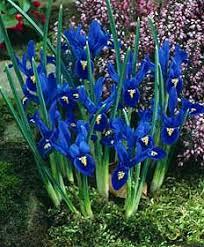 Image result for iris reticulata