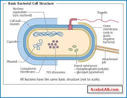 labelled diagram of bacterial cell structure