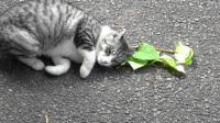 <b>Cats love</b> silver vine and catnip for a more practical reason than ...