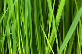 Grass Blade Close Up Grass Background Blade Close Up Nongzico
