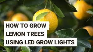 Best Grow Light For Citrus Tree How To Grow Lemon Trees Indoors With Led Grow Lights