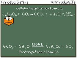 amoebagifs the amoeba sisters cellular respiration and photosynthesis